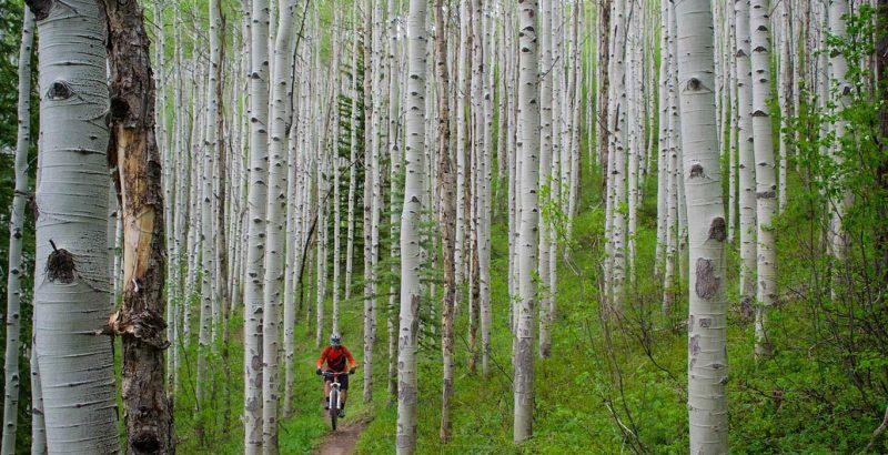 Mountain biking through birch forest in Aspen.